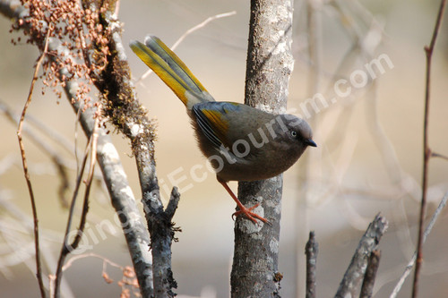 Elliot's laughingthrush.jpg