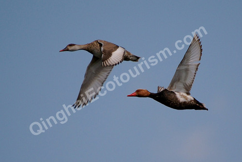 Red crested pochard.jpg