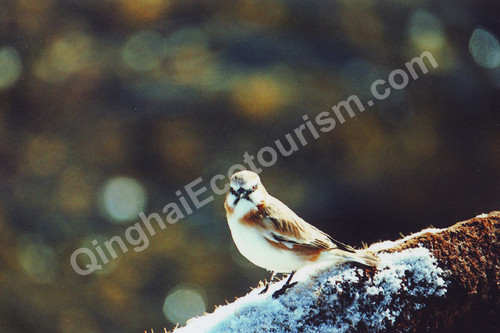 Rufous necked snowfinch.jpg