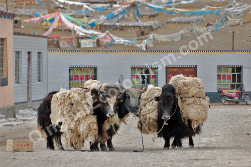 transport yak.jpg